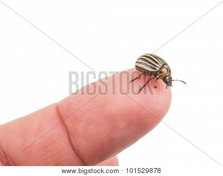Colorado potato beetle on a finger