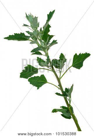 Atriplex plant