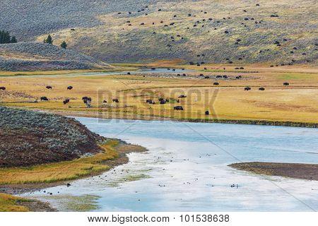 Buffalo in Yellowstone NP,USA
