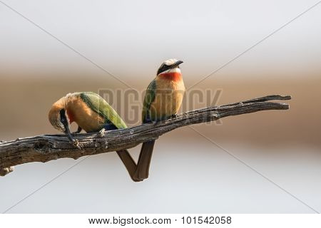 Two bee-eaters on dried branch