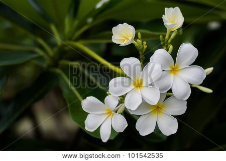 White Plumeria Flowers With Blur Leaves Background