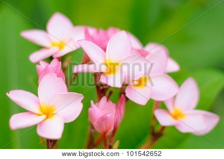 Soft Image With Pink Blooming Plumeria, Soft Focused