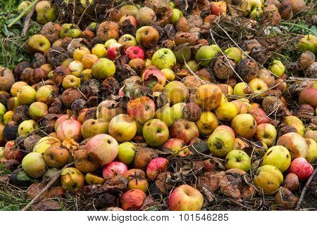 Rotten Apples On A Compost Heap