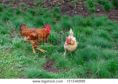 Rooster And Hen Are On Bright Green Grass Background.