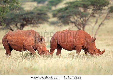 A pair of white rhinoceros (Ceratotherium simum) in natural habitat, South Africa