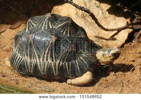 Radiated tortoise (Astrochelys radiata). Wild life animal.