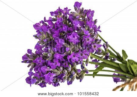 Bouquet Of Violet Wild Lavender Flowers In Dewdrops And Tied With Bow, Isolated On White