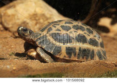 Common spider tortoise (Pyxis arachnoides arachnoides). Wild life animal.