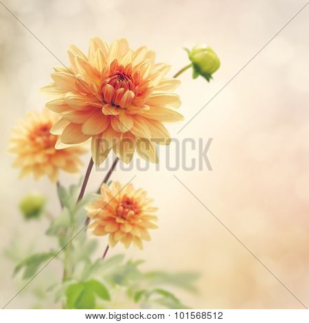 Dahlia Flowers Bloom in The Garden