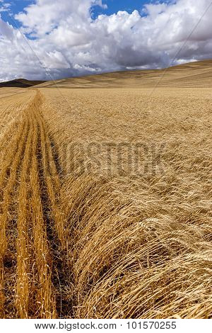 Rows Of Wheat In The Palouse.