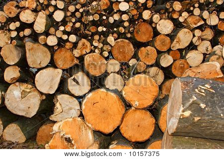 Oodles cut hornbeam logs as firewood
