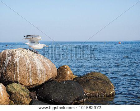 Seagull Leaving Rocks At Sea Into The Blue