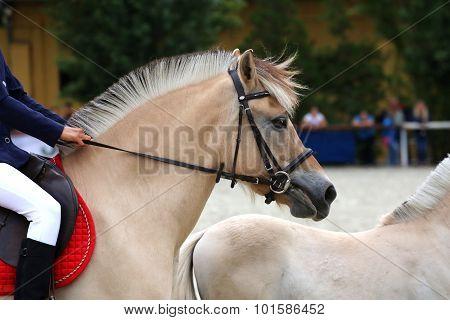 Head Shot Of A Sportive Norwegian Fjord Horses