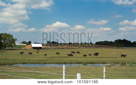 Herd Of Cows On Farm In Lancaster, Pa