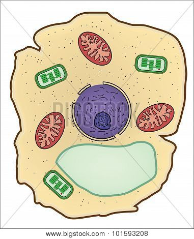 Vector illustration of Plant cell structure anatomy of cell.