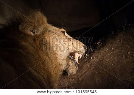 Lion At Night