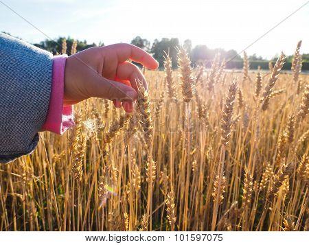 Child Touching Wheat Grain