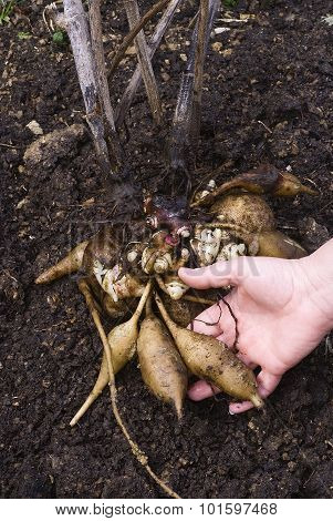 Fresh Yacon Roots (smallanthus Sonchifolius)