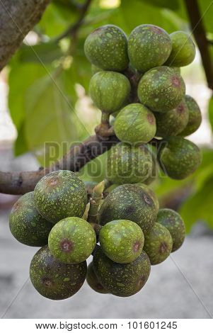 Fruits Of Sycamore Fig (ficus Sycomorus)