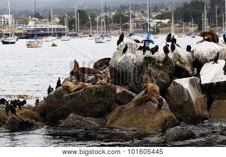 Sea Lions And Cormorants On Breakwater Monterey Bay