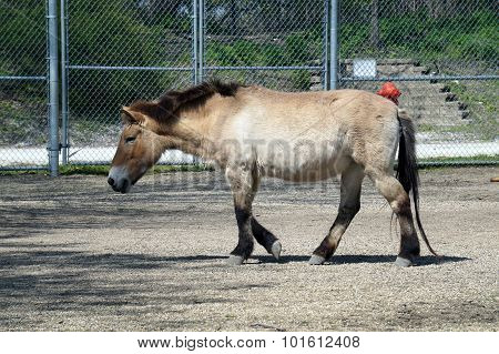Przewalski's Horse