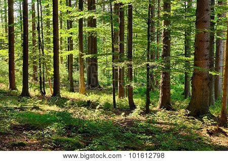 The Primeval Forest