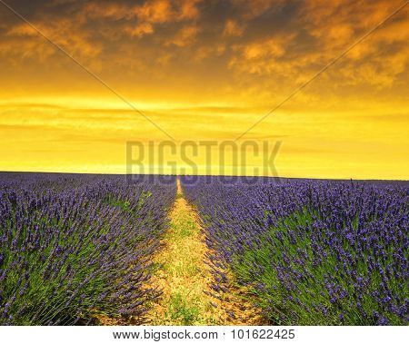 Lavender flower blooming scented fields at sunset