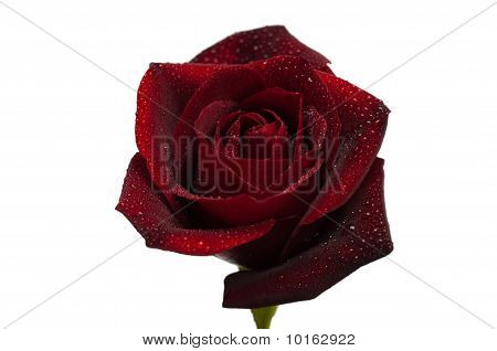 Dark Red Rose With Droplets