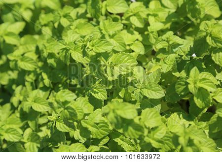 Green Mint Leaves In The Garden