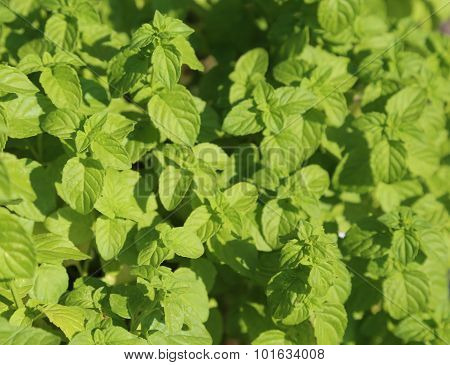 Green Mint Leaves To Prepare Delicious Dishes