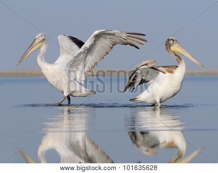 Adult And Young Dalmatian Pelicans