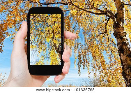 Picture Of Yellow Birch In Sunny Autumn Day