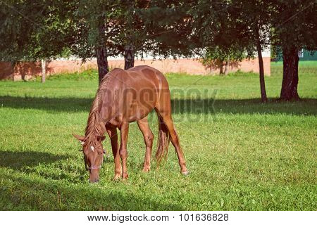 Graceful Brown Horse Pasturing On Green Grass