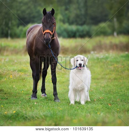 golden retriever dog with a horse