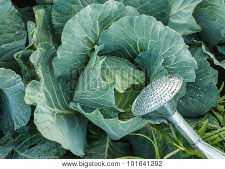 Watering Cabbage