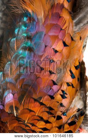 Plumage of a beautiful colorful wild pheasant