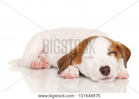 Jack Russell Puppy Sleep