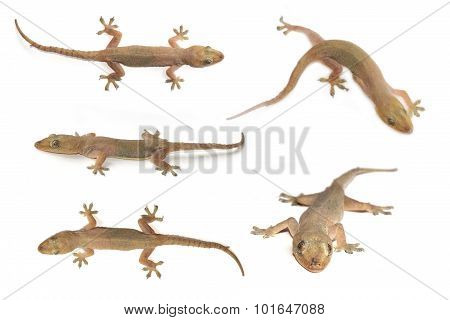 House gecko or Half-toed gecko or House lizard  isolate on white background