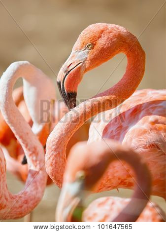 Alone flamingo on white background - Phoenicopterus ruber