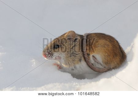 Striped Field Mouse Above Snow Hole  Belted With The Tail