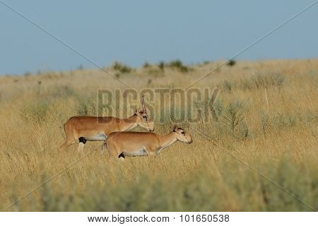 Wild Saiga Antelopes Couple In Kalmykia Steppe