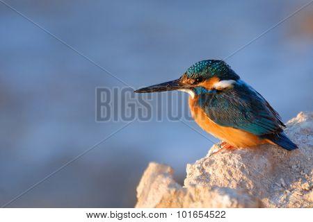 Emerald Kingfisher On Red Sea Coast Stone. Sinai, Egypt.