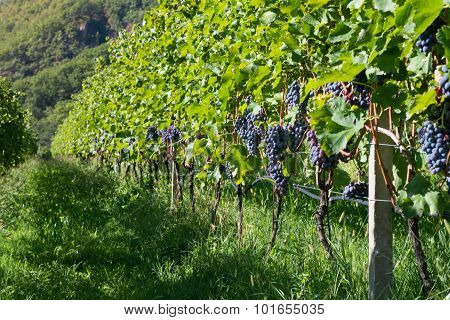 lot of grape vine plants for red wine at alto adige
