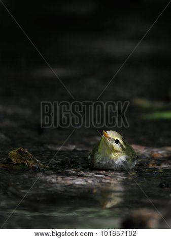 Wood Warbler Near Small Stream In Dark Forest