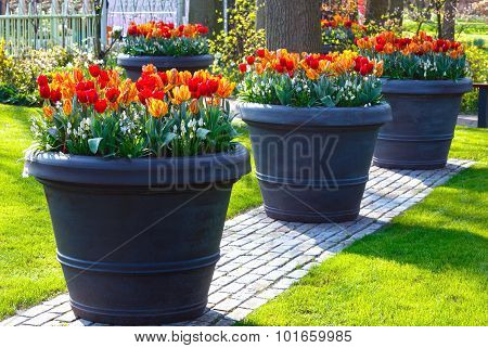 Red-yellow Tulips In Big Flowerpots In Spring Park.