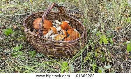 mushroom orange-cap boletus in the basket.