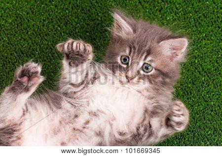 Cute gray kitten playing on artificial green grass
