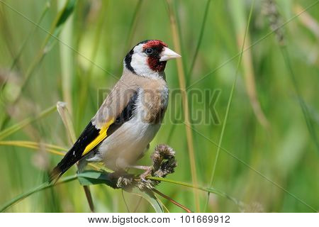 European Goldfinch At Summer Meadow