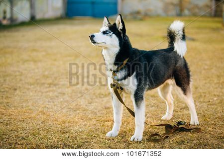 Young Happy Husky Puppy Eskimo Dog Outdoor In Autumn