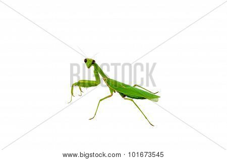 Green Praying Mantis Insect
